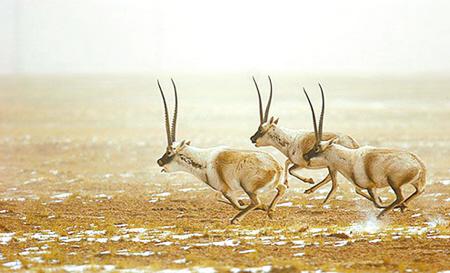 目前,西藏羌塘国家自然保护区内13万余只待产藏羚羊已全部抵达色吾