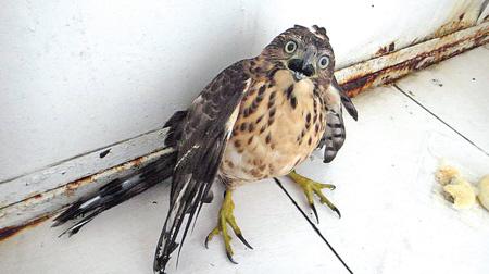 二级保护动物 雀鹰